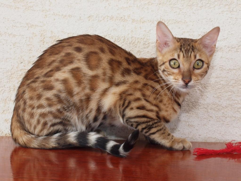 munchkin cats for sale longview tx