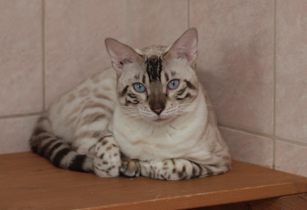 Hodowla Rasowych Kotów Bengalskich Jadry Cattery Wrocław